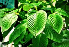 Photo of 4 Most Common Types of Kratom Strains and Effects